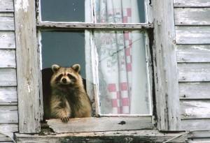 ап 300x205 Русское домашнее животное