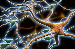 1377022142 dnews files 2013 03 glial cells 660x433 130308 jpg 300x196 Головной мозг: нейроны, нейроглии, стресс и любовь